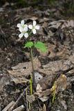 Flor da ordenhadora na natureza Fotografia de Stock Royalty Free
