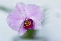 Flor da orquídea. Fotografia de Stock Royalty Free