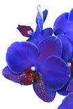 Flor da orquídea azul fotografia de stock royalty free