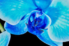 Flor da orquídea azul Foto de Stock