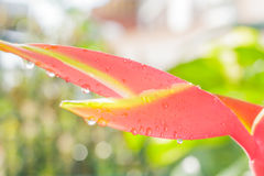 Flor da orquídea com gotas da água Fotos de Stock