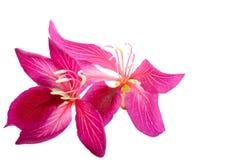 Flor da orquídea de Hong Kong Imagens de Stock Royalty Free
