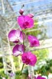 Flor da orquídea do Dendrobium Fotografia de Stock