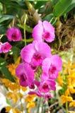 Flor da orquídea do Dendrobium Imagens de Stock Royalty Free