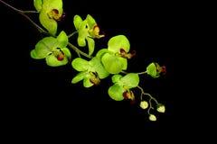 Flor da orquídea do desenhador imagem de stock