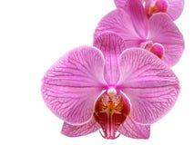 Flor da orquídea do Phalaenopsis isolada no fundo branco Imagem de Stock