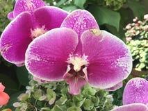 Flor da orquídea feita no jardim de Singapura fotografia de stock