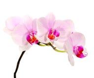 Flor da orquídea isolada Fotos de Stock Royalty Free