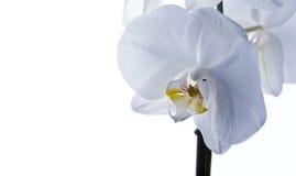 Flor da orquídea isolada foto de stock