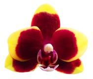 Flor da orquídea isolada imagens de stock