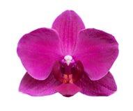 Flor da orquídea isolada no fundo branco Foto de Stock Royalty Free