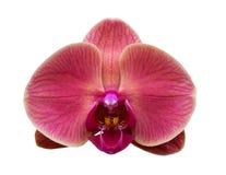 Flor da orquídea isolada no fundo branco Fotografia de Stock Royalty Free