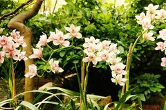 Flor da orquídea na estufa tropical foto de stock royalty free