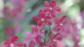 Flor da orquídea no jardim no dia do inverno ou de mola para o projeto de conceito da beleza do cartão e da ideia da agricultura video estoque