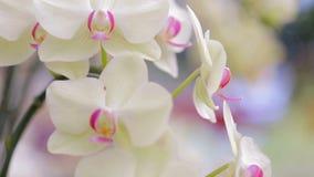 Flor da orquídea no jardim no dia do inverno ou de mola para o projeto de conceito da beleza do cartão e da ideia da agricultura filme
