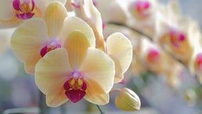 Flor da orquídea no jardim da orquídea no dia do inverno ou de mola Orquídea do Phalaenopsis ou orquídea de traça filme