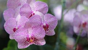 Flor da orquídea no jardim da orquídea no dia do inverno ou de mola Orquídea do Phalaenopsis ou orquídea de traça video estoque