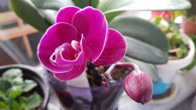 Flor da orquídea no potenciômetro Imagem de Stock Royalty Free