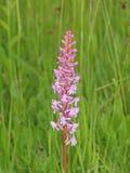Flor da orquídea perfumada (conopsea do Gymnadenia) Fotografia de Stock Royalty Free