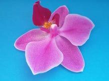 Flor da orquídea sobre o fundo azul Flor bonita Sobre o azul foto de stock