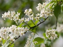 Flor da pássaro-cereja após a chuva Fotografia de Stock Royalty Free