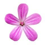 Flor da pétala da cor-de-rosa cinco isolada no branco Imagem de Stock Royalty Free