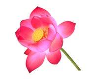 Flor da pétala de Lotus isolada no branco Foto de Stock Royalty Free
