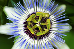 Flor da paixão fotografia de stock