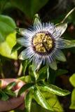Flor da paixão foto de stock