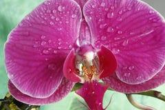 Flor 2 da paixão Foto de Stock Royalty Free