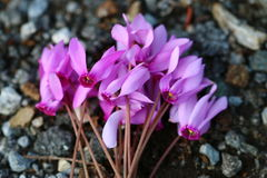 Flor 5 da paixão Fotos de Stock Royalty Free