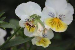 Flor 42 da paixão Foto de Stock