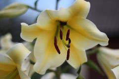 Flor 40 da paixão Fotografia de Stock