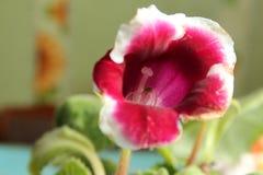 Flor 34 da paixão Imagens de Stock Royalty Free