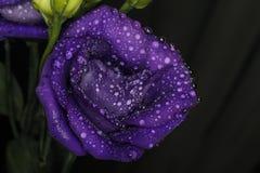 Flor 24 da paixão Foto de Stock Royalty Free