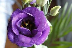 Flor 22 da paixão Fotografia de Stock Royalty Free