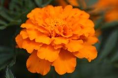 Flor 20 da paixão Imagens de Stock Royalty Free