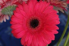 Flor 18 da paixão Foto de Stock Royalty Free