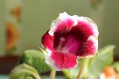 Flor 8 da paixão Fotos de Stock