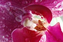 Flor 12 da paixão Foto de Stock Royalty Free