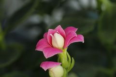 Flor 14 da paixão Fotos de Stock