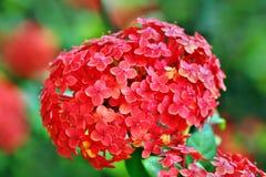 Flor 59 da paixão Foto de Stock