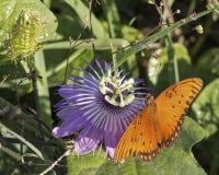 Flor da paixão da borboleta imagem de stock royalty free