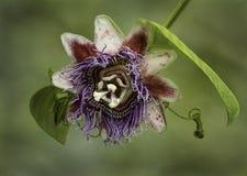 Flor da paixão fotografada em Costa Rica fotos de stock