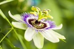 Flor da paixão (incarnata do Passiflora) imagens de stock royalty free