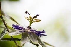 Flor da paixão (incarnata do Passiflora) fotografia de stock