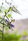 Flor da paixão - incarnata do Passiflora imagem de stock royalty free