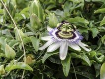 Flor da paixão na flor imagem de stock royalty free