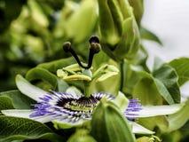 Flor da paixão na flor fotografia de stock royalty free