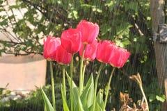 Flor da paixão na chuva Fotografia de Stock